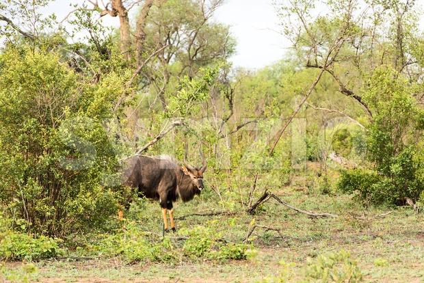 Portrait of male Lowland nyala, Tragelaphus angasii Stock Photo
