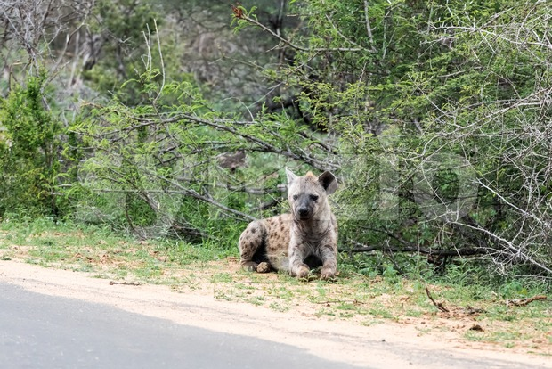 Wild Spotted Hyena posing next to paved road Stock Photo