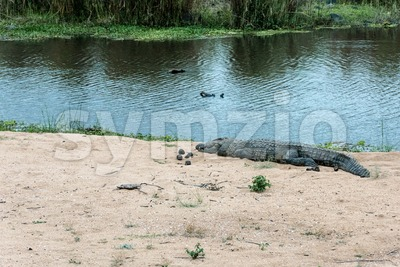 Crocodile on the banks of a river Stock Photo