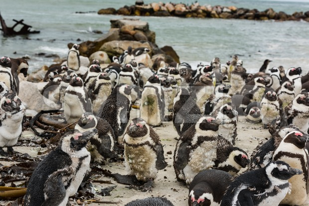 African Jackass Penguins Stock Photo