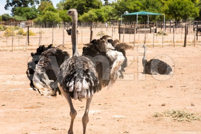 Male ostrich (Struthio camelus) Stock Photo