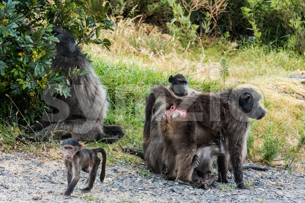 Portrait of a large African Baboon family with small ones close to Capetown in South Africa