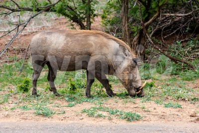 African Warthog (Phacochoerus africanus) Stock Photo