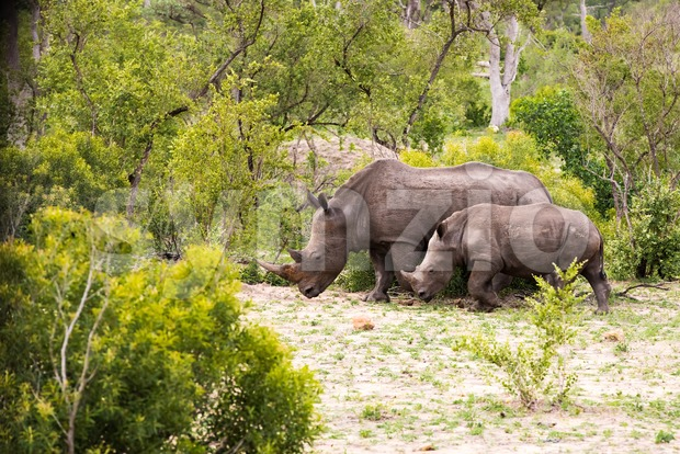 Family of African rhinos - a mother rhinoceros with her young one in South Africa