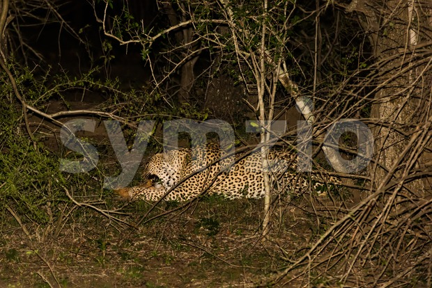 Powerful male leopard feeding on an antilope at the wilderness of South Africa