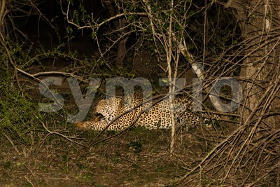 Powerful male leopard with his catch Stock Photo