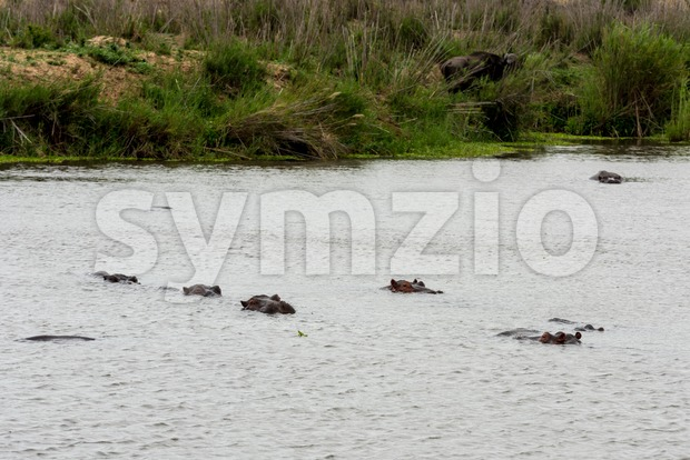 Herd of hippos (Hippopotamuses) in a river in South Africa with buffalo grazing on the shore in the background