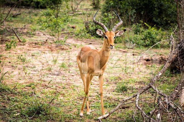 Male Impala gazelle Stock Photo