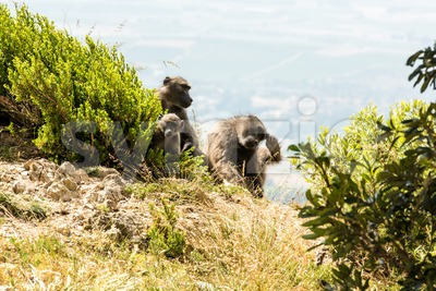 African Baboon family Stock Photo