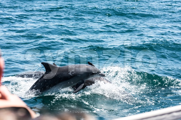 Dolphin family playing in the water Stock Photo