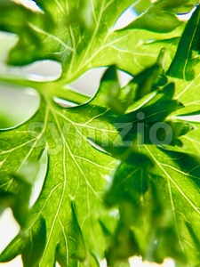 Closeup of fresh parsley Stock Photo