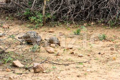 Leopard tortoise walking Stock Photo
