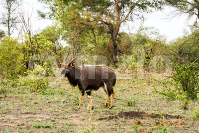 Portrait of male Lowland nyala, Tragelaphus angasii Stock Photo