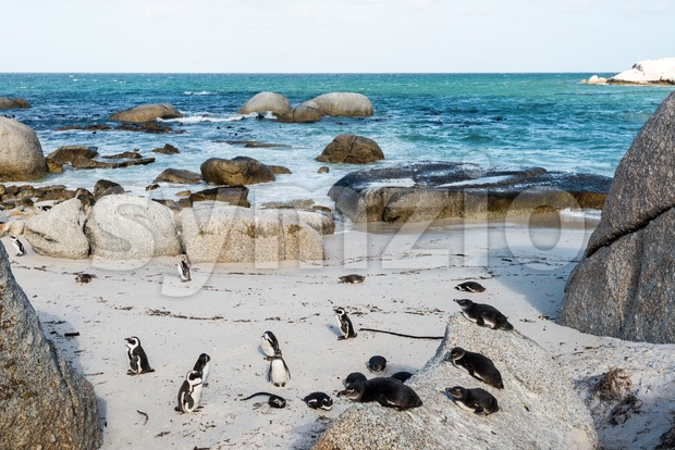 A colony of African Jackass Penguins in South Africa