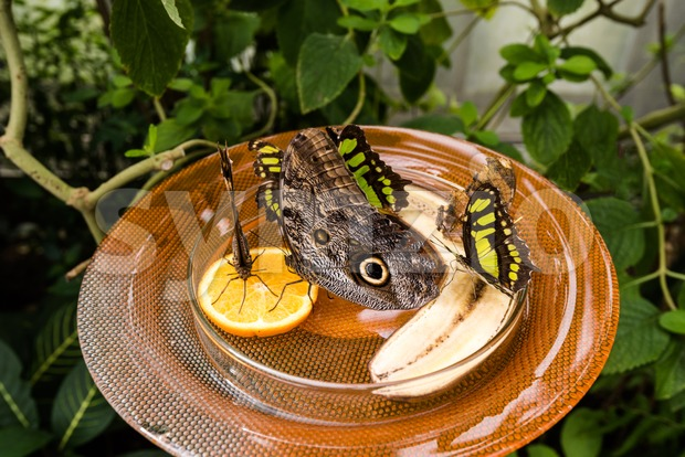 Owl Butterfly (Caligo Memnon) Stock Photo