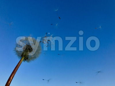Dandelion blowing away Stock Photo