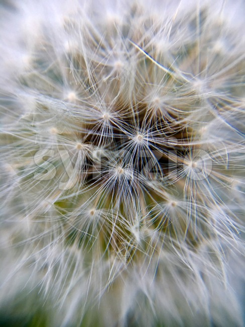 Extreme macro of a dandelion flower , wallpaper showing the beauty of nature