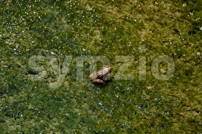 Frog in swamp Stock Photo