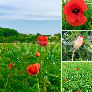 poppy flower collage Stock Photo