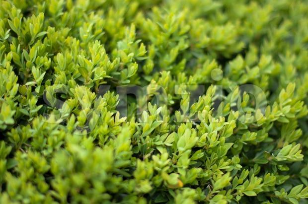 Buxus Sempervireus Stock Photo