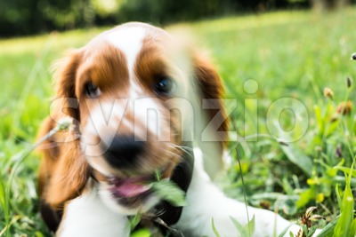 Cute English Springer Spaniel puppy sniffing Stock Photo