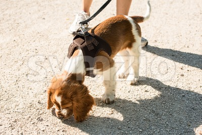 Taking an English Springer Spaniel puppy for a walk Stock Photo