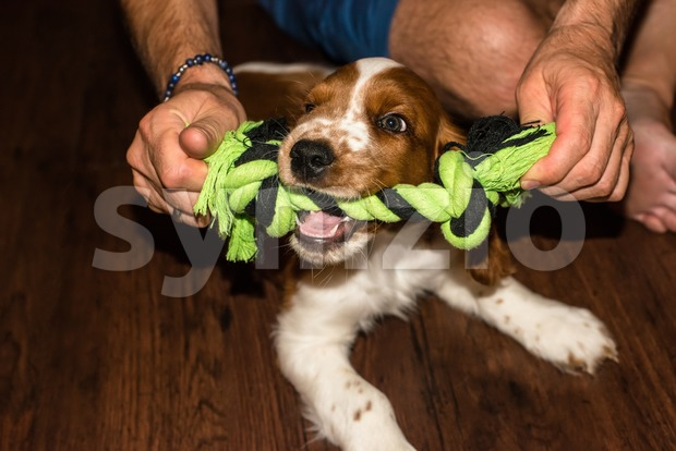 English Springer Spaniel puppy playing with his master on wooden floor showing his baby teeth while biting a rope