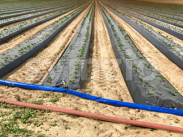 Industrial strawberry farming with rows of fresh plants growing out of plastic cover and irrigation pipes