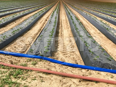 industrial strawberry farming Stock Photo