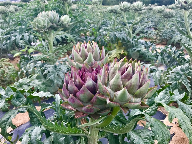 Field of Artichokes about to blossom
