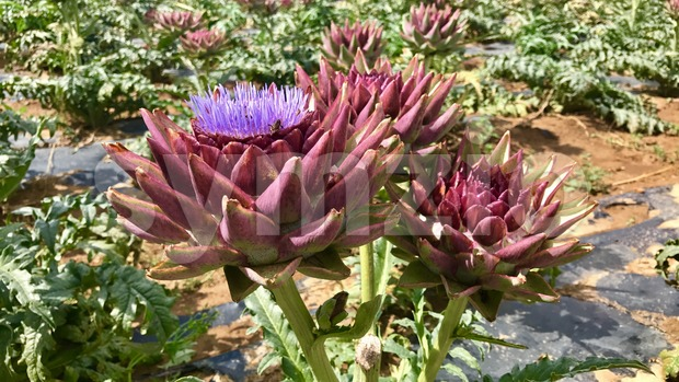 artichoke flower in a field Stock Photo