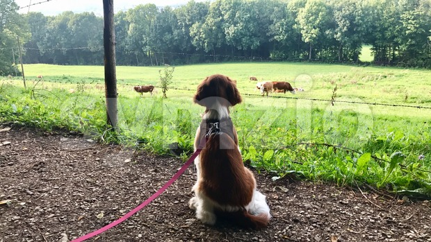 Welsh Springer Spaniel puppy on the leash Stock Photo