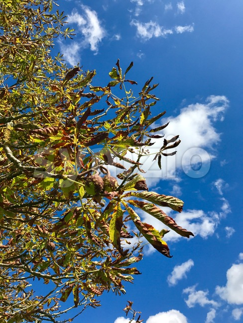 Horse-chestnuts on tree branch against great cloudy blue sky - Aesculus hippocastanum fruits in autumn.
