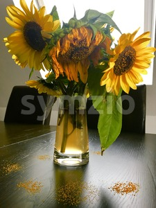 Wilted sunflowers in glass vase Stock Photo