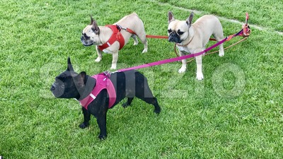 Three pug dogs Stock Photo