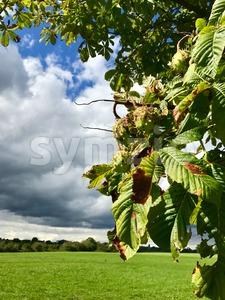 Horse-chestnuts on tree Stock Photo