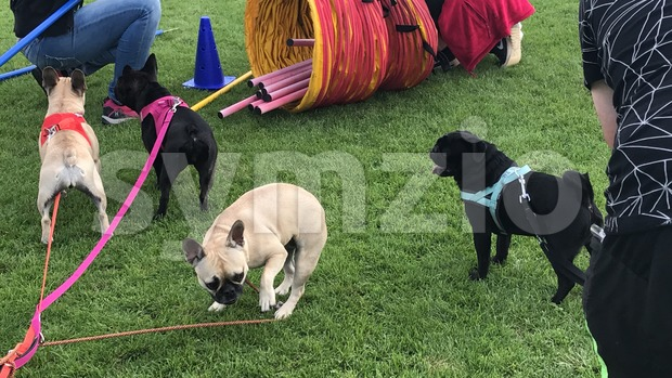 Four pug dogs Stock Photo