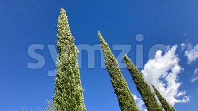 Typical cypress trees in Tuscany Stock Photo