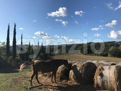 Typical country road in Tuscany lined with cypress trees and free horses Stock Photo