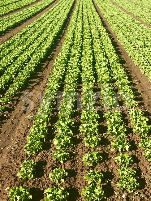 Rows of salad on a large agriculture field Stock Photo