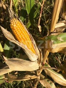 Ripe maize corn ear on the cob Stock Photo