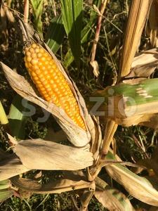 Ripe maize corn ear on the cob Stock Photo
