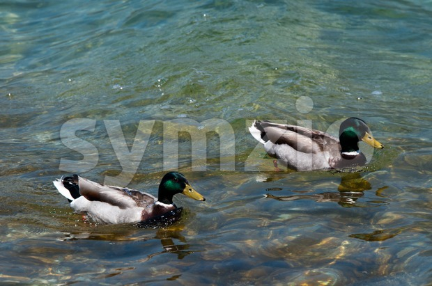Two ducks swimming in a lake Stock Photo
