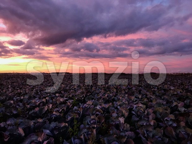 Cabbage fields with dramatic sunset sky. Stock Photo