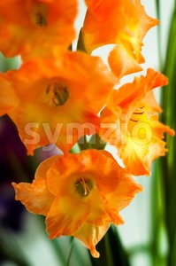beautiful orange gladiolus Stock Photo