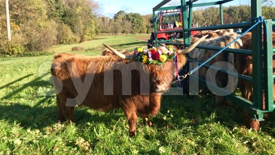 Ceremonial descent of cattle from the mountain pastures in the Swabian Alb Stock Photo