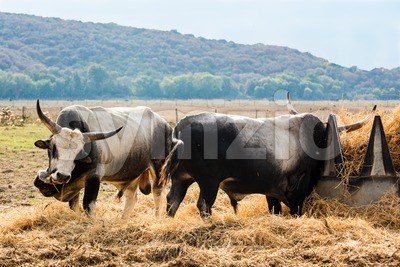 Tuscan Maremma cows Stock Photo