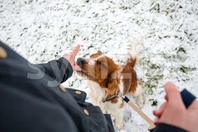 Young Welsh Springer Spaniel in the snow Stock Photo