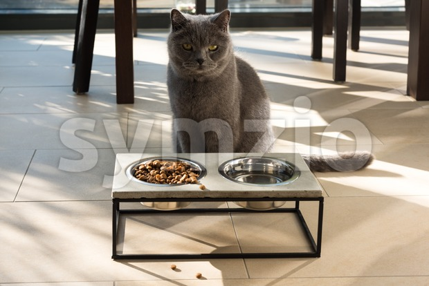 Beautiful cat sitting in front of a food bowl Stock Photo