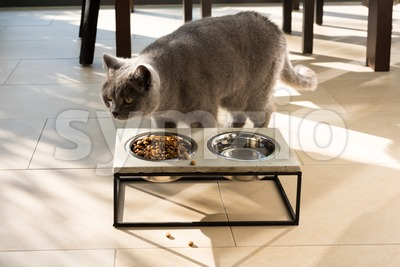 Beautiful cat approaching a food bowl Stock Photo